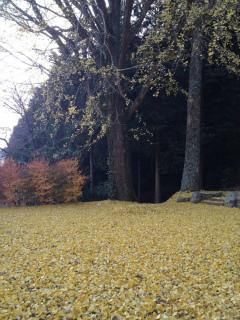 2012・11銀杏実家2.jpg